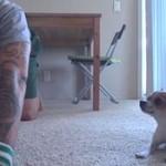 Chihuahua ćwiczy jogę!
