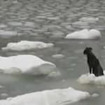 Pies na krze - akcja ratunkowa