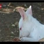 Malutki kangur - albinos!