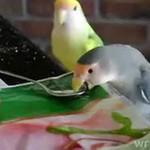 Śliczne papużki jedzą śniadanko!