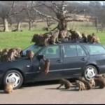 Nie parkuj w pobliżu małp!